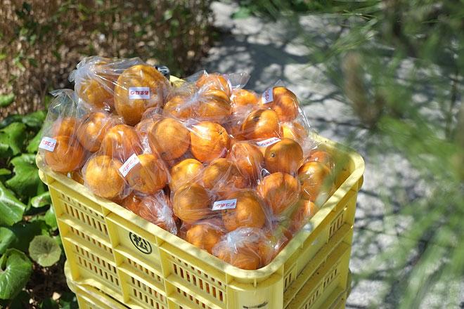 柑橘青空市場